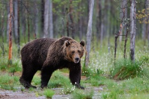 Electric fence can be used to deter bears
