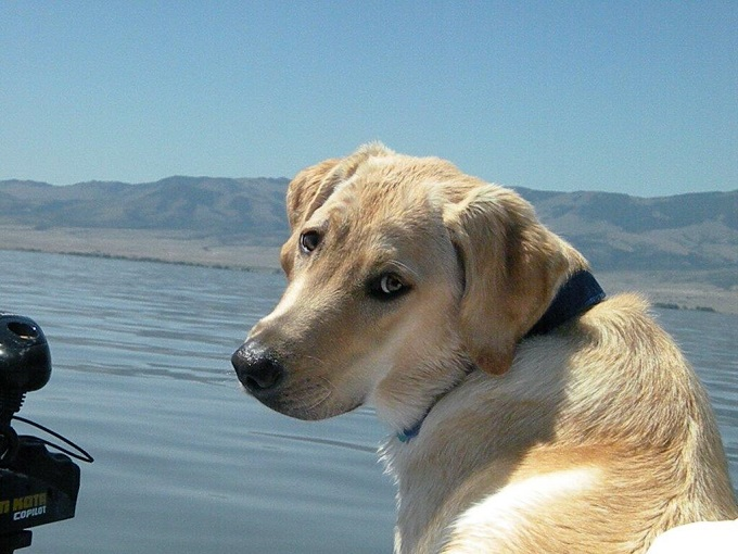 Yellow lab on a boat