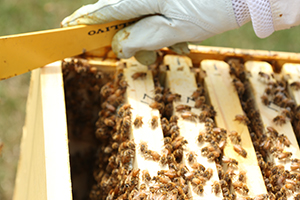 Bees will abandon their hive if too overcrowded. This is called swarming.