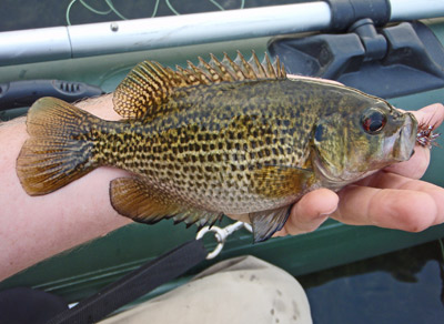 Fly Fishing for Smallmouth and this nice Rock Bass ate the Brown Marauder.