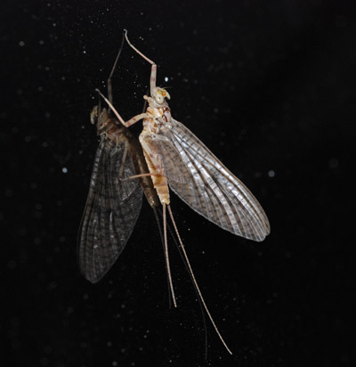 Late Evening Mayfly Hatch