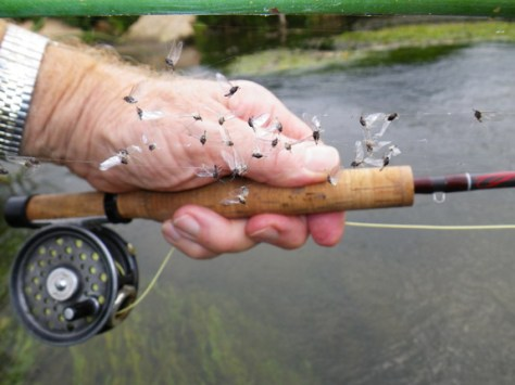 Trico Mayflies - Trout Fly Fishing - Murray's Fly Shop Fly Fishing tips and techniques