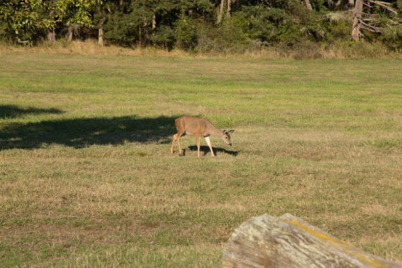 mv Archimedes deer at English Camp