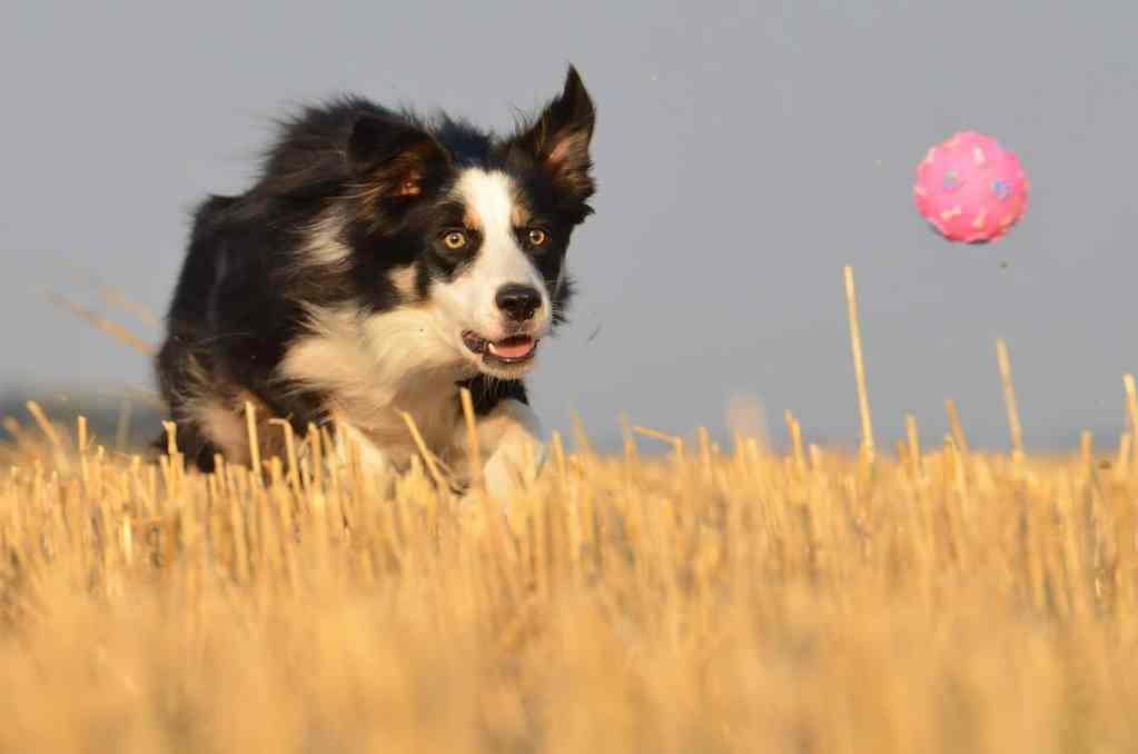 Hund fixiert Ball beim Ballspielen