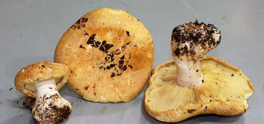 Belle découverte à Métabetchouan : Leucopaxillus tricolor / Leucopaxille tricolore