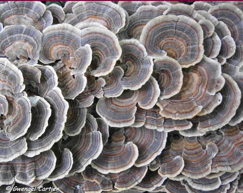 La taxonomie des tramètes (Trametes) et de polypores apparentés : un seul genre ou beaucoup trop de genres?