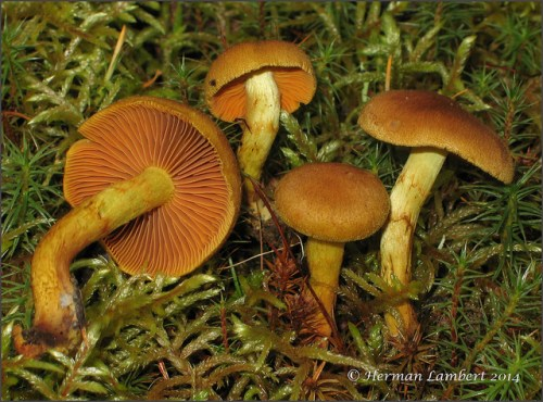 Cortinarius malicorius / Cortinaire à lames orange PHOTO : Herman Lambert