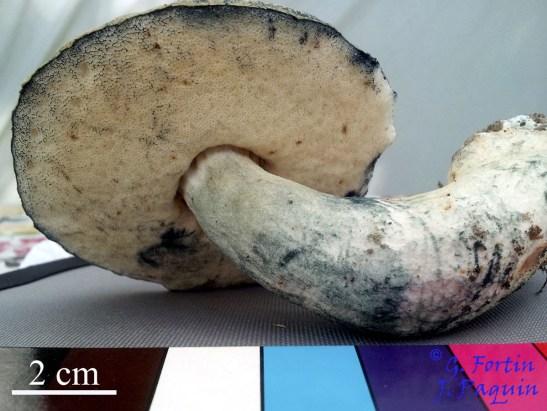 Fig. 6: pied et face poroïde du spécimen de la figure 1