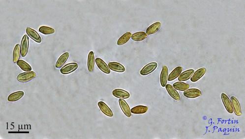 Fig. 9: spores typiquement bolétoïdes d'Austroboletus gracilis Me = 15,31 x 6,34 µm ; Qe = 2,43; N = 32