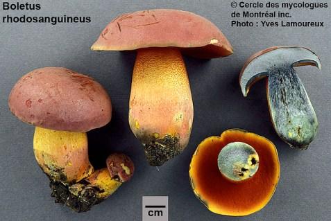Rubroboletus rhodosanguineus / Bolet rouge sang PHOTO : Yves Lamoureux