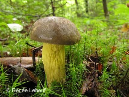 Retiboletus ornatipes / Bolet à pied orné PHOTO : Renée Lebeuf