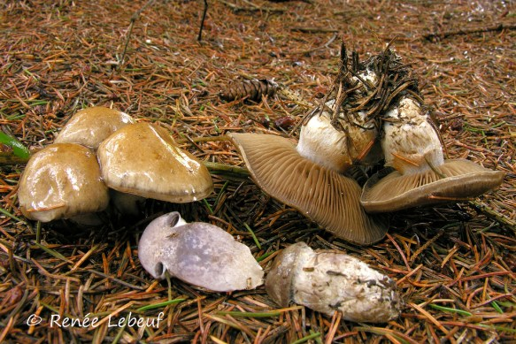 Cortinarius infractus. PHOTO : Renée Lebeuf