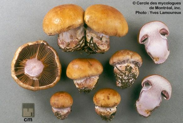 Cortinarius purpurascens / Cortinaire purpurin PHOTO : Yves Lamoureux