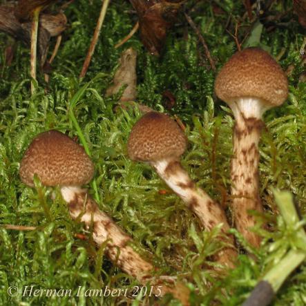 Cortinarius pholideus / Cortinaire écailleux. PHOTO : Herman Lambert