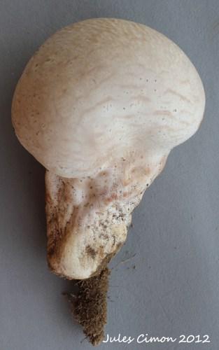 Calvatia cyathiformis / Vesse-de-loup cupuliforme ©Jules Cimon