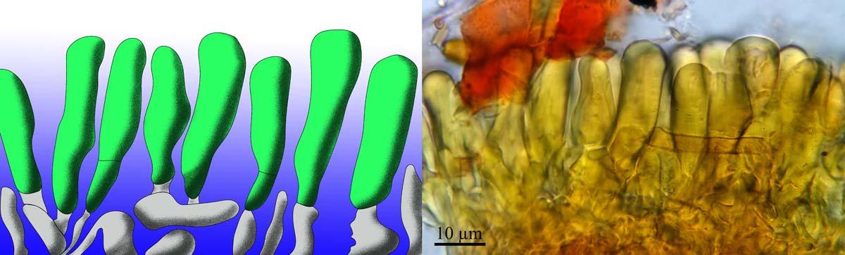 Les couches corticales des hyménomycètes