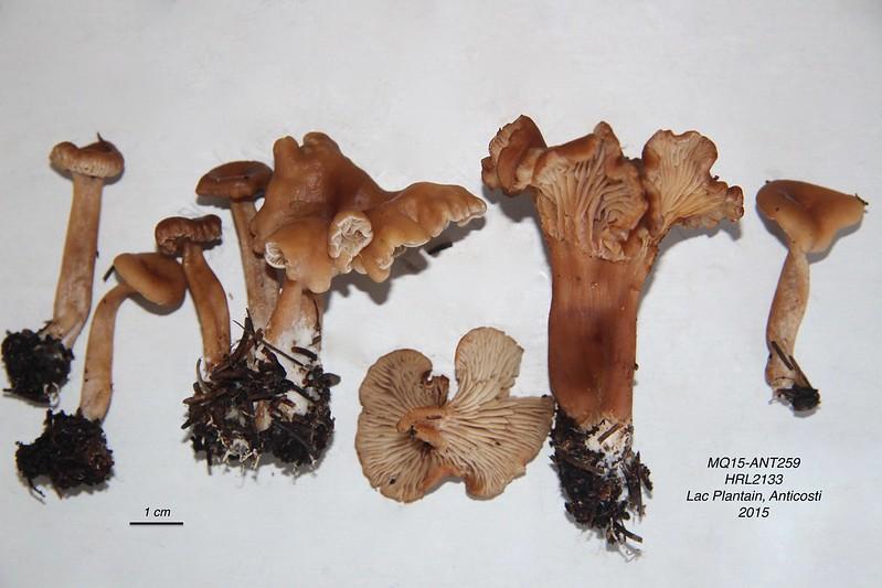 Une nouvelle Pseudoomphalina décrite du Québec