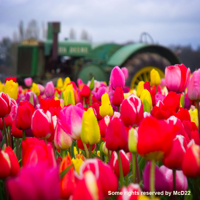 Tulips and a Tractor