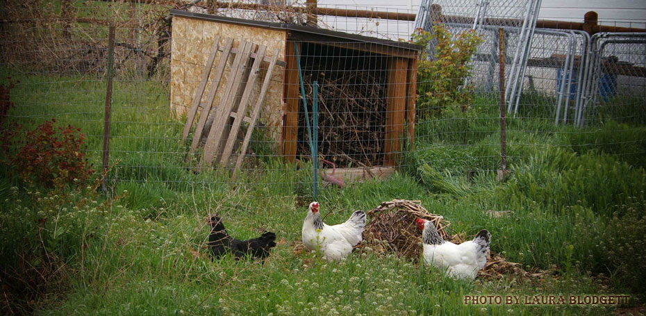 Chickens in a yard