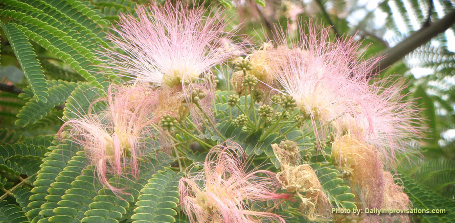 Mimosa Flowers and Seed Pods