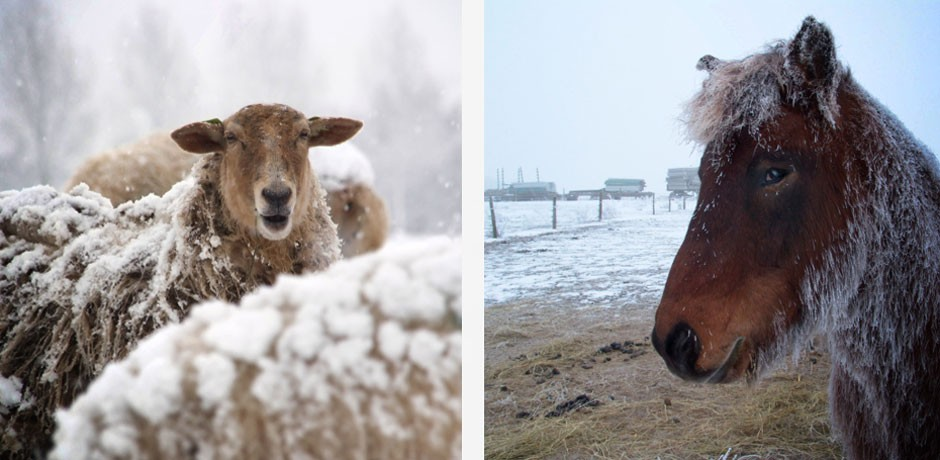 Sheep and Horse in Snow
