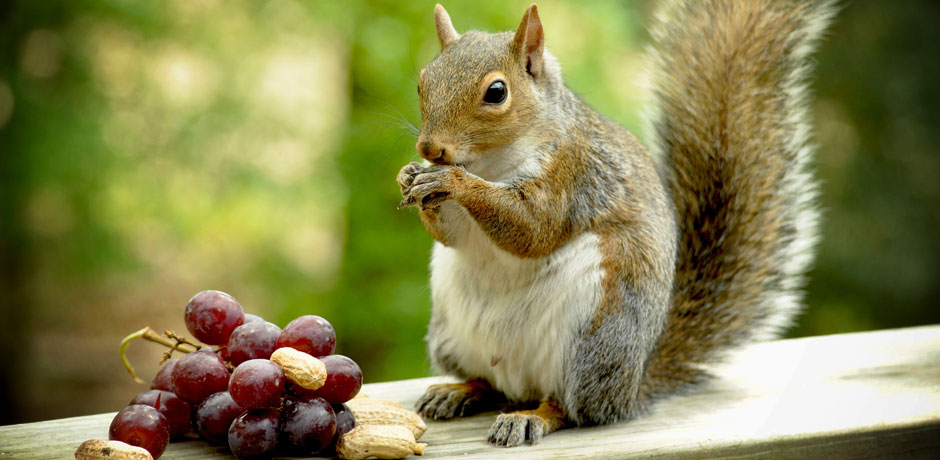 Squirrel eating grapes