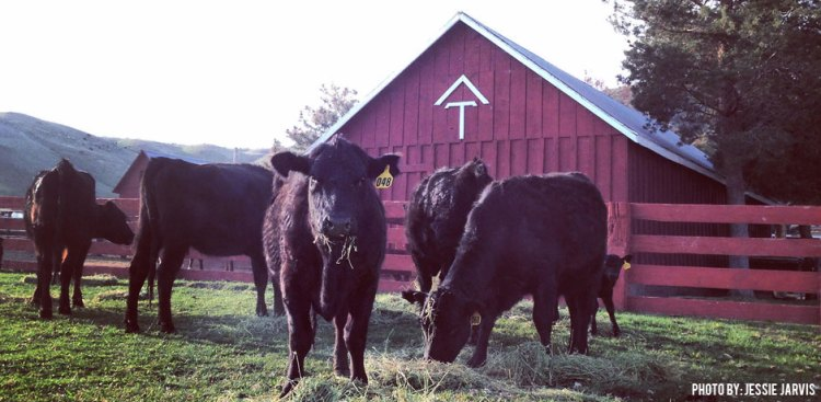 03042016_Cows-at-Rafter-T-Ranch