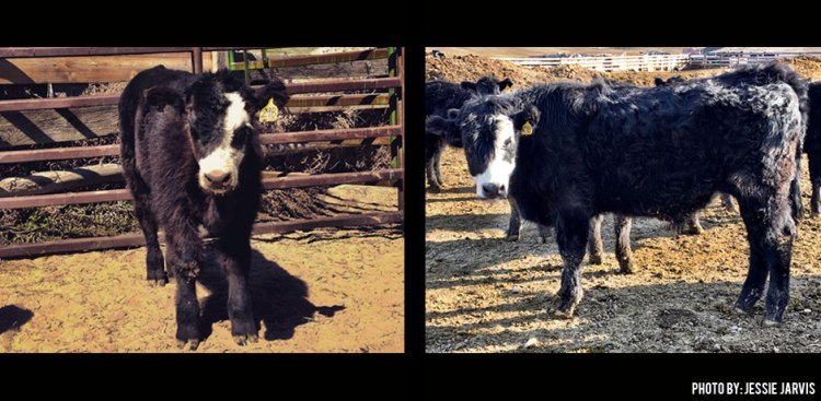 03042016_baby-and-grown-calf-in-Idaho