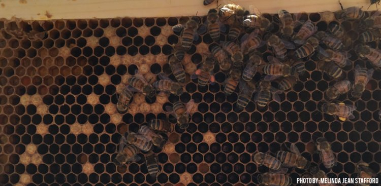 03092016_Capped-Brood-Bees-in-the-Spring