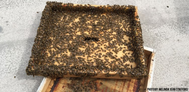 04122016_Bees-Covering-Surface-of-Frame