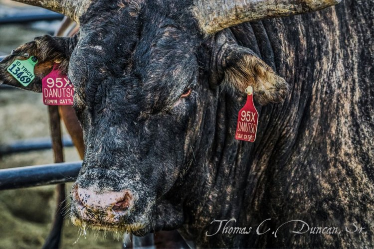09022016_bull-looking-at-you