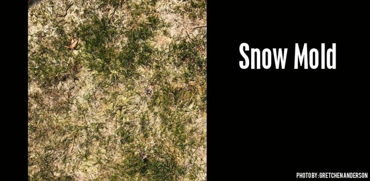 03222017_Snow-Mold-and-how-to-take-care-of-it