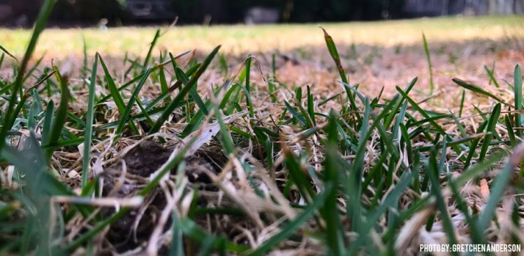 03222017_Snow-Mold-ground-view-2-and-how-to-take-care-of-it