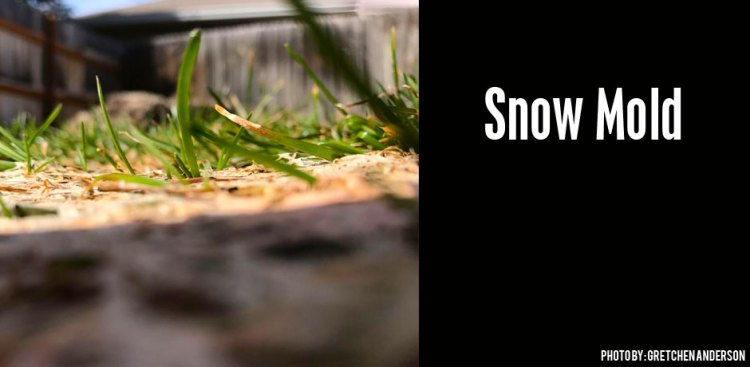 03222017_Snow-Mold-ground-view-and-how-to-take-care-of-it