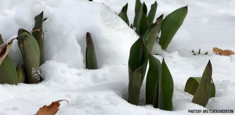 Gretchen-Anderson-02282018-tulips-in-snow