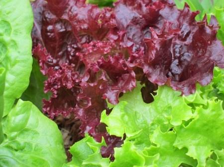 La salade pour raffraichir ou accompagner le fromage