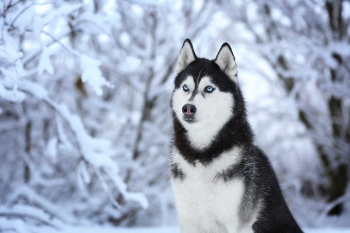 Cute Husky Dog Pictures Wallpapergood Co