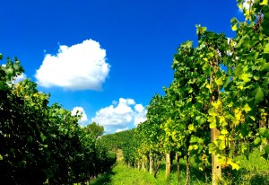 a row of arneis grapes growing in Piedmont, Italy