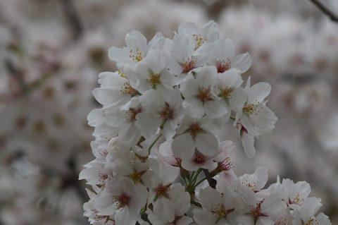 近所の桜 002