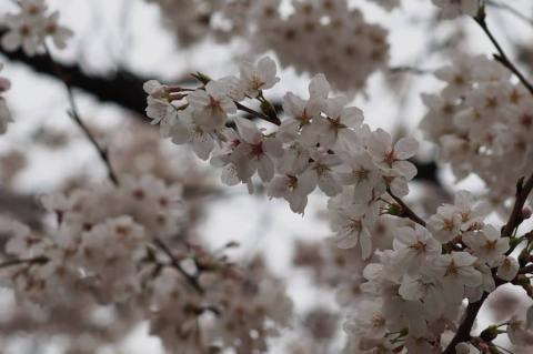近所の桜 001