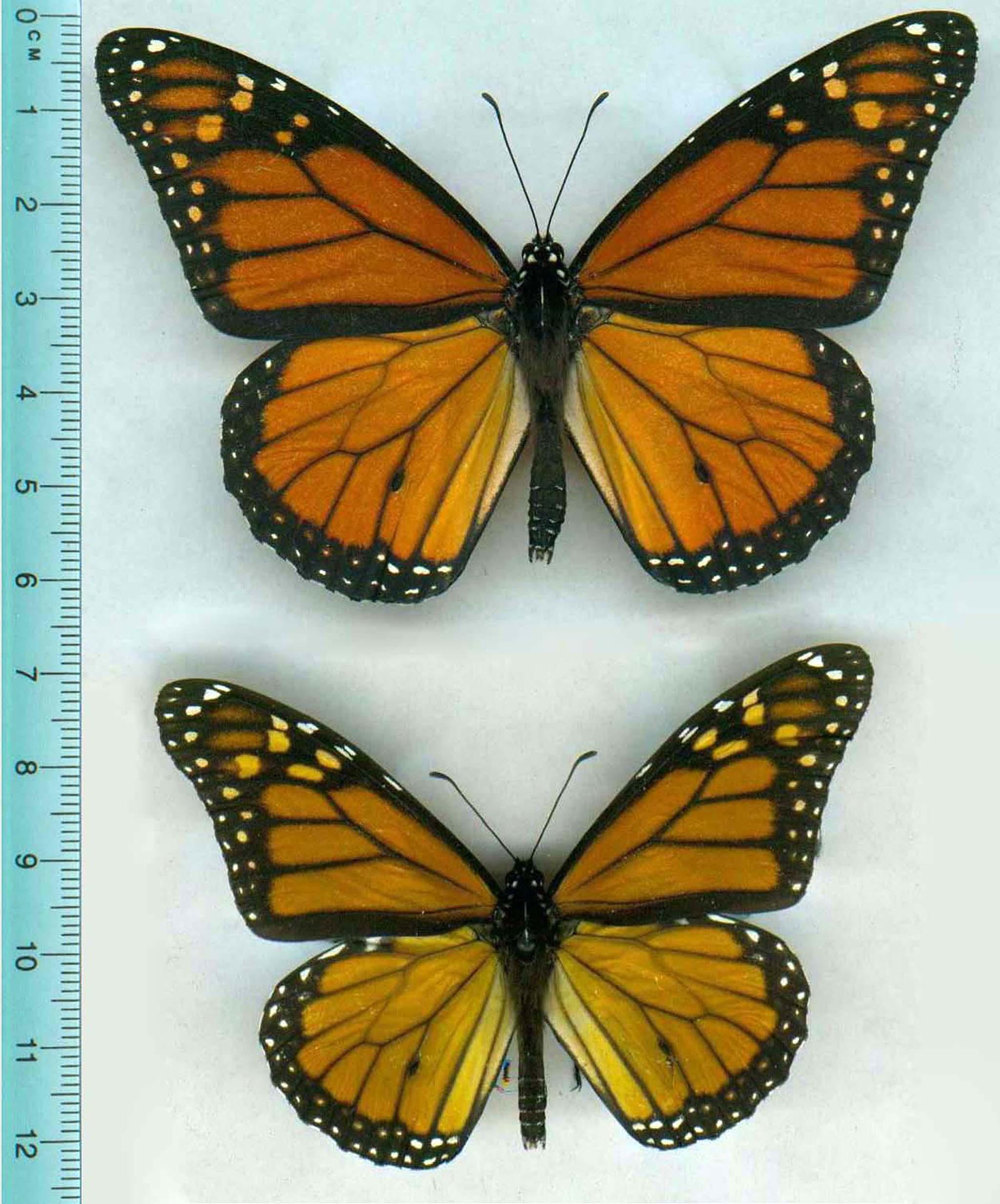 Monarch Butterflies Shrink Get Paler After Skipping A