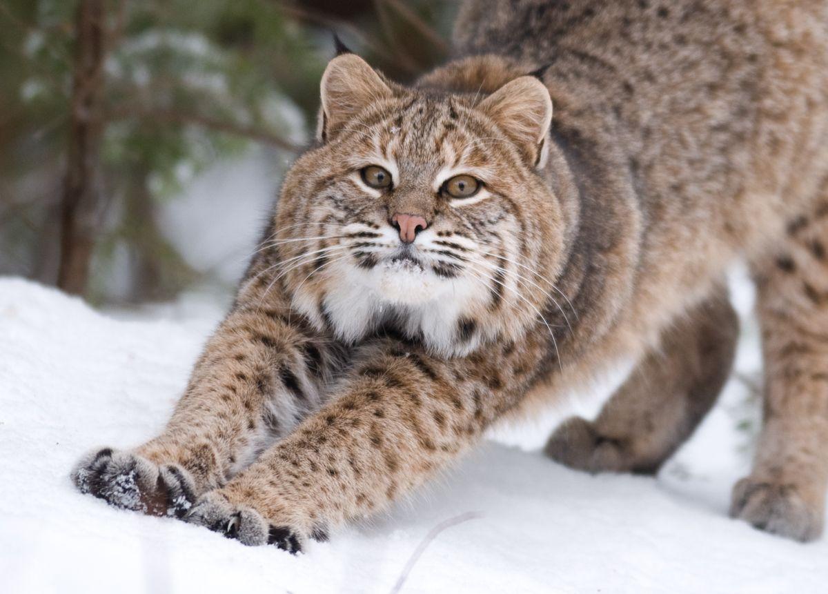 Bobcats Prowl Among Us Haunt Birdfeeders Brooks