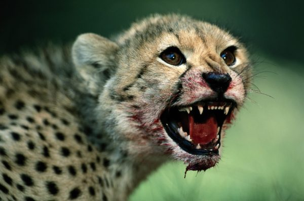 Cheetahs Fast facts about worlds fastest cat National