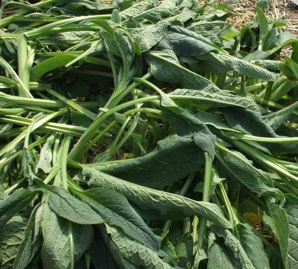 Minstens 10 Voordelen van Smeerwortel In De Natuurlijke Tuin