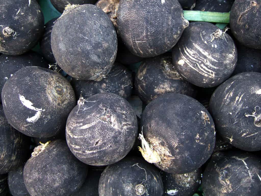 Plantbespreking: Zwarte rammenas (Rhaphanus sativus niger)