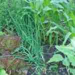 Organische Lijnen en Combinatieteelt in de Natuurlijke Moestuin