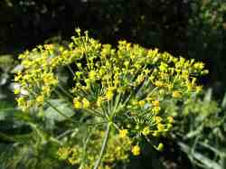 Plantbespreking: Dille (Anethum graveolens)