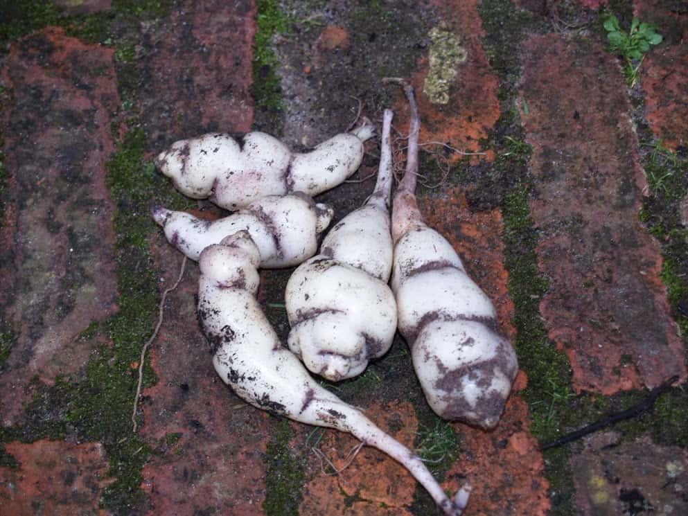 Plantbespreking: Knolcapucien (Tropaeolum tuberosum)