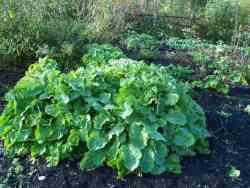 Plantbespreking: Eeuwig Moes of Splijtkool