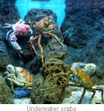 underwater-crabs